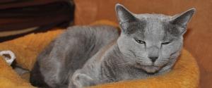 Dlaczego warto kupić kota rosyjskiego niebieskiego
